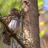 Sóweczka, Pygmy Owl, Glaucidium passerinum, SLK, 25.05.2018 (2) (Polska, Poland)