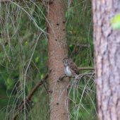 Sóweczka, Pygmy Owl, Glaucidium passerinum, SLK, 25.05.2018 (1) (Polska, Poland)