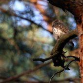 Sóweczka, Pygmy Owl, Glaucidium passerinum, SLK, 21.04.2018 (Polska, Poland)