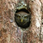 Sóweczka, Pygmy Owl, Glaucidium passerinum, SLK, 25.04.2018 (1) (Polska, Poland)