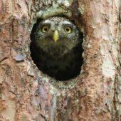 Sóweczka, Pygmy Owl, Glaucidium passerinum, SLK, 25.04.2018 (3) (Polska, Poland)
