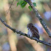Sóweczka, Pygmy Owl, Glaucidium passerinum, SLK, 29.05.2018 (2) (Polska, Poland)
