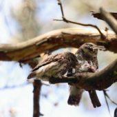 Sóweczka, Pygmy Owl, Glaucidium passerinum, SLK, 08.05.2018 (Polska, Poland)
