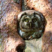 Włochatka, Boreal Owl (Tengmalm's Owl), Aegolius funereus, Lasy Lublinieckie, SLK, 29.04.2018 (1) (Polska, Poland, Lublinieckie Forest)