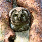 Włochatka, Boreal Owl (Tengmalm's Owl), Aegolius funereus, Lasy Lublinieckie, SLK, 29.04.2018 (10) (Polska, Poland, Lublinieckie Forest)