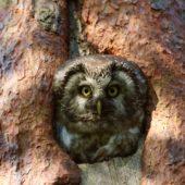 Włochatka, Boreal Owl (Tengmalm's Owl), Aegolius funereus, Lasy Lublinieckie, SLK, 29.04.2018 (2) (Polska, Poland, Lublinieckie Forest)