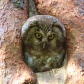Włochatka, Boreal Owl (Tengmalm's Owl), Aegolius funereus, Lasy Lublinieckie, SLK, 29.04.2018 (3) (Polska, Poland, Lublinieckie Forest)