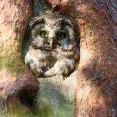 Włochatka, Boreal Owl (Tengmalm's Owl), Aegolius funereus, Lasy Lublinieckie, SLK, 29.04.2018 (4) (Polska, Poland, Lublinieckie Forest)