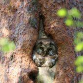 Włochatka, Boreal Owl (Tengmalm's Owl), Aegolius funereus, Lasy Lublinieckie, SLK, 29.04.2018 (5) (Polska, Poland, Lublinieckie Forest)