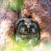 Włochatka, Boreal Owl (Tengmalm's Owl), Aegolius funereus, Lasy Lublinieckie, SLK, 29.04.2018 (6) (Polska, Poland, Lublinieckie Forest)