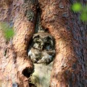 Włochatka, Boreal Owl (Tengmalm's Owl), Aegolius funereus, Lasy Lublinieckie, SLK, 29.04.2018 (7) (Polska, Poland, Lublinieckie Forest)