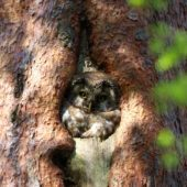Włochatka, Boreal Owl (Tengmalm's Owl), Aegolius funereus, Lasy Lublinieckie, SLK, 29.04.2018 (8) (Polska, Poland, Lublinieckie Forest)