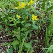 Wilczomlecz pstry, Cushion spurge, Euphorbia epithymoides, Dąbrowa Górnicza, SLK, 20.05.2018 (1) (Polska, Poland)