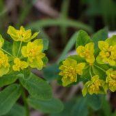Wilczomlecz pstry, Cushion spurge, Euphorbia epithymoides, Dąbrowa Górnicza, SLK, 20.05.2018 (2) (Polska, Poland)