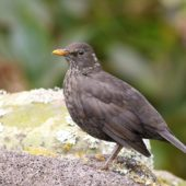 Kos, Blackbird, Turdus merula azorensis, Corvo, Azory, Portugalia, 15.10.2018 (Azores, Portugal)