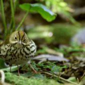 Lasówka złotogłowa, Ovenbird, Seiurus aurocapilla, Corvo, Azory, Portugalia, 18.10.2018 (1) (Azores, Portugal)