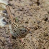 Szarobrewka (pasówka) płowa, Lincoln`s Sparrow, Melospiza lincolnii, Corvo, Azory, Portugalia, 18.10.2018 (1) (Azores, Portugal)