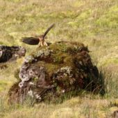 Błotniak amerykański, Northern Harrier, Circus hudsonius, Corvo, Azory, Portugalia, 14.10.2019 (2) (Azores, Portugal)