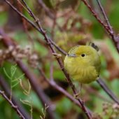 Lasówka złotawa, American Yellow Warbler, Setophaga petechia, Corvo, Azory, Portugalia, 11.10.2019 (1) (Azores, Portugal)