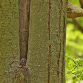 Puszczyk uralski, Ural Owl, Strix uralensis, Nadleśnictwo Katowice, SLK, 29.04.2020 (Polska, Poland)