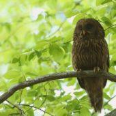 Puszczyk uralski, Ural Owl, Strix uralensis, Nadleśnictwo Katowice, SLK, 05.05.2020 (Polska, Poland) (5)