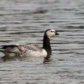 Bernikla białolica, Barnacle Goose, Branta leucopsis, Jaworzno, SLK, 08.10.2020 (Polska, Poland) (2)