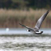 Bernikla białolica, Barnacle Goose, Branta leucopsis, Jaworzno, SLK, 08.10.2020 (Polska, Poland) (5)