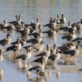 Bernikla rdzawoszyja, Red-breasted Goose, Branta ruficollis, Wielikąt, SLK, 20.02.2020 (Polska, Poland)