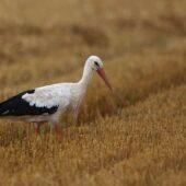 Bocian biały, White Stork, Ciconia ciconia, Gołuchowice, SLK, 19.08.2020 (Polska, Poland) (2)