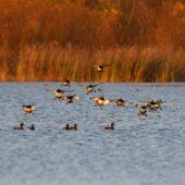 Czernica, Tufted Duck, Aythya fuligula, Przeczyce, SLK, 15.11.2020 (Polska, Poland)