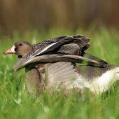 Gęś białoczelna, Greater White-fronted Goose, Anser albifrons, Bytom, SLK, 08.11.2020 (Polska, Poland) (2)