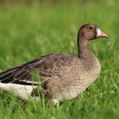 Gęś białoczelna, Greater White-fronted Goose, Anser albifrons, Bytom, SLK, 08.11.2020 (Polska, Poland) (3)
