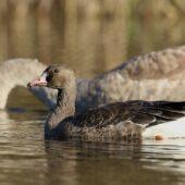Gęś białoczelna, Greater White-fronted Goose, Anser albifrons, Bytom, SLK, 08.11.2020 (Polska, Poland) (4)