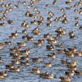 Gęś tundrowa, Tundra Bean Goose, Anser serrirostris, Świerklaniec, SLK, 22.02.2020 (1) (Polska, Poland)