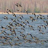 Gęś tundrowa, Tundra Bean Goose, Anser serrirostris, Świerklaniec, SLK, 22.02.2020 (2) (Polska, Poland)