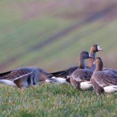 Gęś białoczelna, Greater White-fronted Goose, Anser albifrons, Lubomia, SLK, 17.02.2020 (3) (Polska, Poland)