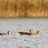 Gęsiówka egipska, Egyptian Goose, Alopochen aegyptiaca, Jaworzno, SLK, 08.10.2020 (Polska, Poland)