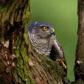 Krogulec, Sparrowhawk, Accipiter nisus, Dąbrowa Górnicza, SLK, 09.03.2020 (1) (Polska, Poland)