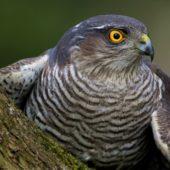 Krogulec, Sparrowhawk, Accipiter nisus, Dąbrowa Górnicza, SLK, 09.03.2020 (2) (Polska, Poland)
