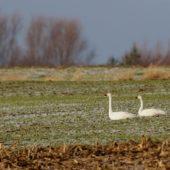 Łabędź czarnodzioby, Tundra/Bewick's Swan, Cygnus columbianus, Woźniki, SLK, 08.01.2020 (1) (Polska, Poland)