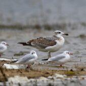 Orlica, Great Black-headed Gull, Ichthyaetus ichthyaetus, Przeczyce, SLK, 30.09.2020 (Polska, Poland) (2)