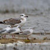 Orlica, Great Black-headed Gull, Ichthyaetus ichthyaetus, Przeczyce, SLK, 30.09.2020 (Polska, Poland) (3)