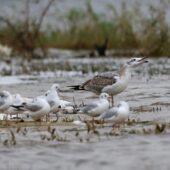 Orlica, Great Black-headed Gull, Ichthyaetus ichthyaetus, Przeczyce, SLK, 30.09.2020 (Polska, Poland) (4)