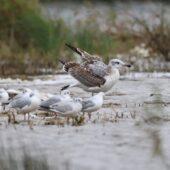 Orlica, Great Black-headed Gull, Ichthyaetus ichthyaetus, Przeczyce, SLK, 30.09.2020 (Polska, Poland) (6)