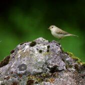 Wójcik, Greenish Warbler, Phylloscopus trochiloides, Morsko, SLK, 24.06.2020 (Polska, Poland) (2)