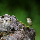 Wójcik, Greenish Warbler, Phylloscopus trochiloides, Morsko, SLK, 24.06.2020 (Polska, Poland) (3)