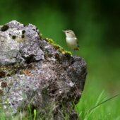Wójcik, Greenish Warbler, Phylloscopus trochiloides, Morsko, SLK, 24.06.2020 (Polska, Poland) (4)