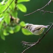 Wójcik, Greenish Warbler, Phylloscopus trochiloides, Morsko, SLK, 24.06.2020 (Polska, Poland) (5)
