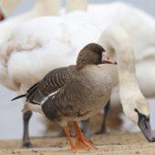 Gęś białoczelna, Greater White-fronted Goose, Anser albifrons, Pogoria 3, Dąbrowa Górnicza, SLK, 01.03.2021 (Polska, Poland) (3)
