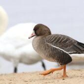 Gęś białoczelna, Greater White-fronted Goose, Anser albifrons, Pogoria 3, Dąbrowa Górnicza, SLK, 01.03.2021 (Polska, Poland) (5)